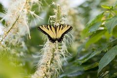 De vrouwelijke Oostelijke Vlinder van Swallowtail van de Tijger stock fotografie