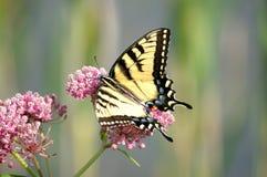 De vrouwelijke Oostelijke Vlinder van Swallowtail van de Tijger Stock Afbeelding