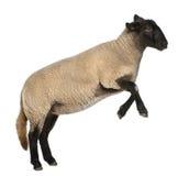 De vrouwelijke schapen van Suffolk, Ovis aries, 2 jaar oud Stock Foto