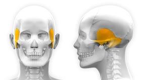 De vrouwelijke Tijdelijke die Anatomie van de Beenschedel - op wit wordt geïsoleerd stock illustratie