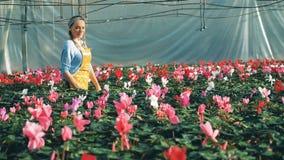 De vrouwelijke tuinman controleert cyclamens in bloembedden in een serre stock videobeelden