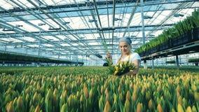 De vrouwelijke tuinman neemt tulpen van bloembedden, die in een serre werken stock videobeelden