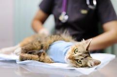 De vrouwelijke veterinaire arts zet het verband op de kat na chirurgie stock afbeeldingen