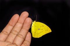 De vrouwelijke vlinder van de Citroenemigrant Stock Foto