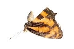 De vrouwelijke vlinder van de kleurensergeant Stock Foto