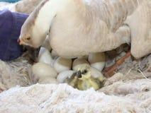 De vrouwelijke witte ganzen broeden uit Stock Afbeelding