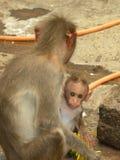 De vrouwelijke zitting van de Bonnet macaque aap met haar zuigeling royalty-vrije stock afbeeldingen