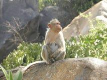 De vrouwelijke zitting van de Bonnet macaque aap op een granietrots royalty-vrije stock foto