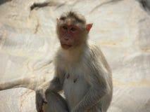 De vrouwelijke zitting van de Bonnet macaque aap op granietrotsen stock afbeeldingen