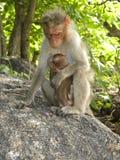 De vrouwelijke zitting van de Bonnet macaque aap op rots met baby royalty-vrije stock afbeelding