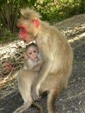 De vrouwelijke zitting van de Bonnet macaque aap op rotsen en voedende baby stock foto's