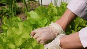 De vrouwen dient rubber de scheur groene salade van handschoenenarbeiders van de tuinbedden in stock footage