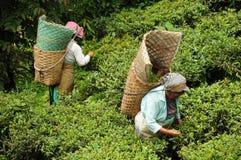 De vrouwen plukken thee doorbladert, Darjeeling, India Stock Foto
