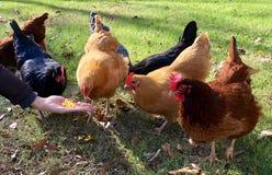 De vrouwen` s hand voedt weidende kippen Royalty-vrije Stock Foto