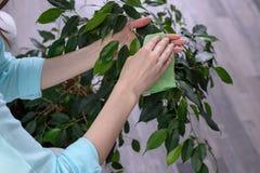 De vrouwen` s handen met een doek van microfiber wordt gemaakt vegen het stof van de groene bladeren, zorg voor installaties die  stock afbeeldingen