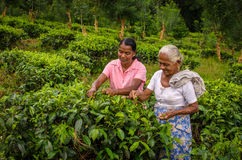 De vrouwen verzamelen thee in Sri Lanka Stock Afbeeldingen