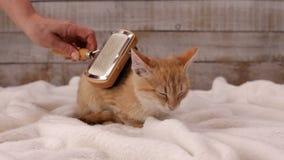 De vrouwenhand borstelt een oranje bont van het gestreepte katkatje stock footage