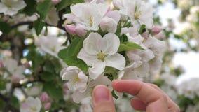 De vrouwenhand raakt veel liefs en strelend de bloeiende witte bloemen van de boom stock video