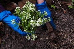 De vrouwenhanden die een wit planten bloeit installatie in de tuin Het tuinieren het werk in de lentetijd royalty-vrije stock afbeeldingen