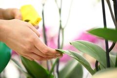 De vrouwenhanden met spuitbus, op bloembladeren wordt bespoten, nemen zorg die Royalty-vrije Stock Fotografie