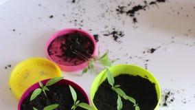 De vrouwenwerken met zaailingen Op de lijst zijn potten met spruiten Overplantende hete peperzaailingen stock footage
