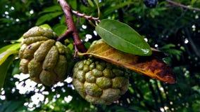 De vruchten hangen in boom Stock Foto's