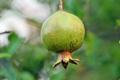 De Vruchten van de babygranaatappel op de boom Royalty-vrije Stock Afbeelding