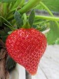 De vruchten van de aardbei op de tak Royalty-vrije Stock Afbeelding