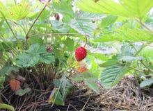 De vruchten van de aardbei op de tak Royalty-vrije Stock Fotografie