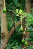 De vruchten van de avocado Royalty-vrije Stock Afbeelding