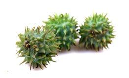 De vruchten van de bever stock afbeelding