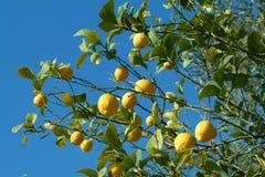 De vruchten van de citroen Stock Foto