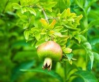 De vruchten van de granaatappel op de boom Stock Foto
