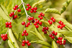 De vruchten van de kamperfoelie stock foto