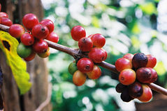 De vruchten van de koffie Stock Foto's