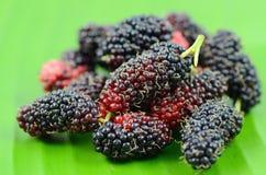 De vruchten van de moerbeiboom. Royalty-vrije Stock Afbeeldingen
