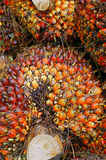 De vruchten van de oliepalm Stock Fotografie