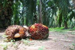 De vruchten van de oliepalm in aanplanting Royalty-vrije Stock Afbeelding