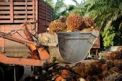 De vruchten van de palmolie Stock Afbeelding