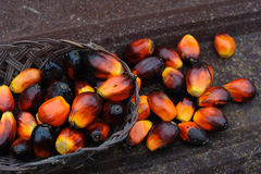 De vruchten van de palmolie Royalty-vrije Stock Foto's