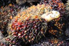 De vruchten van de palmolie Stock Afbeeldingen