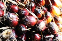 De vruchten van de palmolie Royalty-vrije Stock Fotografie