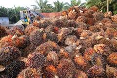 De vruchten van de palmolie Royalty-vrije Stock Afbeelding