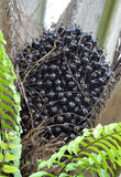 De vruchten van de palmolie Stock Foto