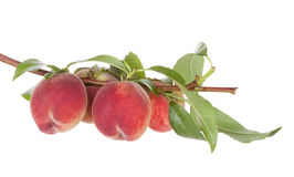 De vruchten van de perzik de boom met doorbladert Royalty-vrije Stock Afbeeldingen