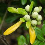 De vruchten van de rododendron Stock Fotografie