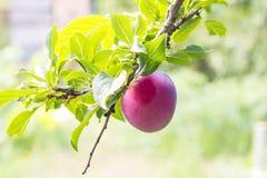 De vruchten van een rijpe purpere pruim op een boom vertakken zich in een tuinclose-up stock foto's