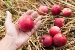 De vruchten van de de herfstaard oogst in boomgaard, verse groenteappelen stock foto