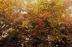 De vruchten van het de zomervoedsel van de abrikozenboom stock afbeelding