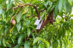 De vruchten van perzikbomen met fungiciden worden behandeld dat royalty-vrije stock foto's